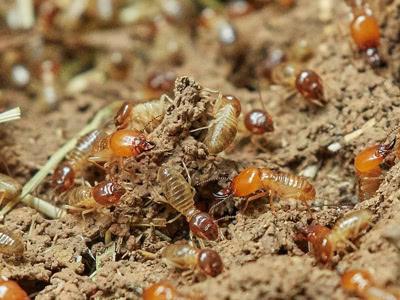 Termites Problems & Treatments